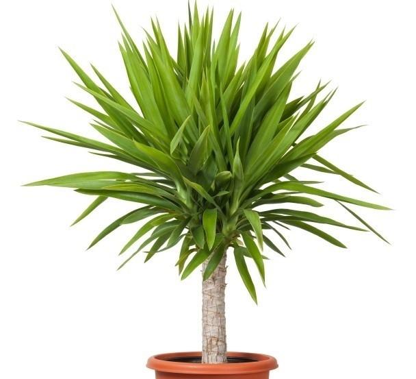 Captivating Blätter Der Yucca Palme
